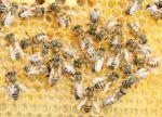 Buckfast_bee